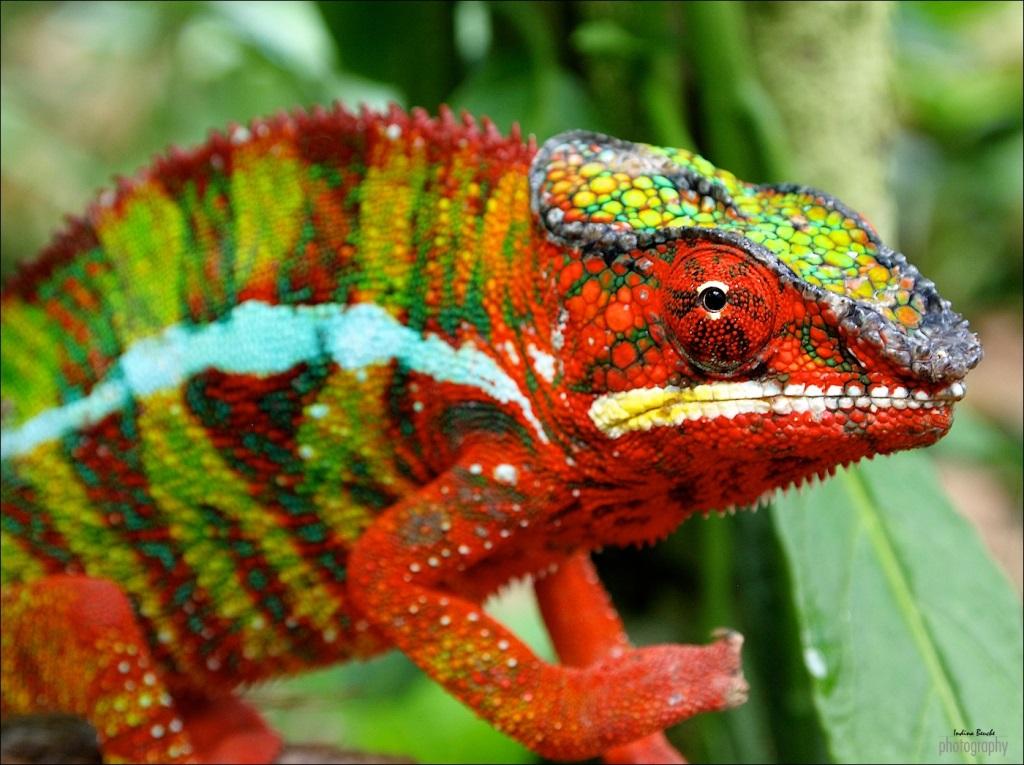 Chameleon-Furcifer-Pardalis