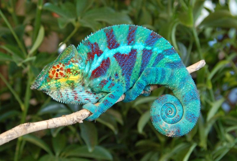 caméléon-panthère-Chameleo-pardalis-origine-alimentation-reproduction-maintenance-mâle-femelle-maturité-taille-reptile-NAC-animal-animaux-compagnie-animogen-5