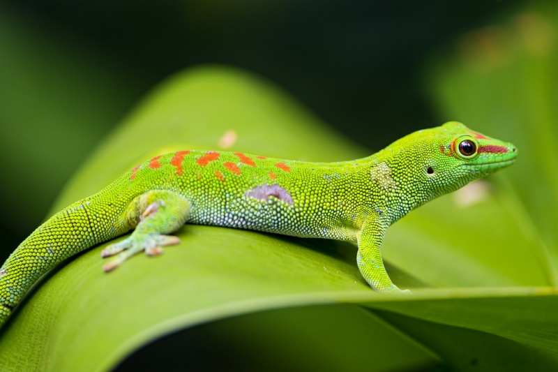 madagascar_day_gecko_on_the_leaf