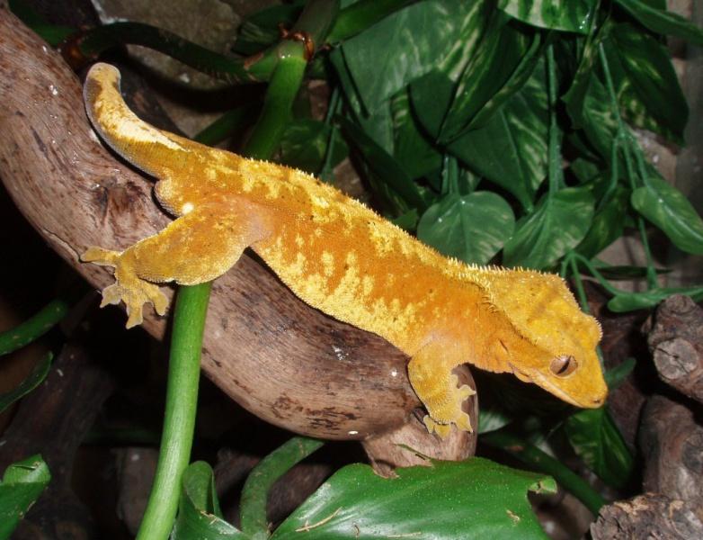 Rhacodactylus ciliatus samec